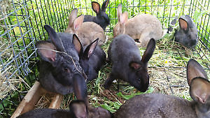 4 New Zealand / Flemish Giant cross bunnies for sale, 3 months