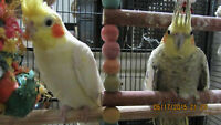 Breeding Pair Cocakiels with large cage ,toys & accessories.
