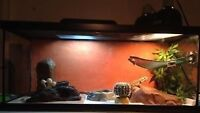 Price Drop: Young bearded dragon + tank