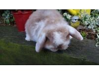 Very friendly mini lop baby rabbits