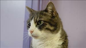 """Adult Male Cat - Domestic Short Hair: """"Orion"""""""
