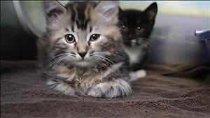 """Baby Female Cat - Domestic Short Hair: """"Silver"""""""