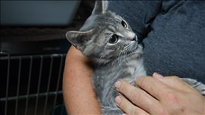 """Baby Male Cat - Domestic Short Hair: """"Opie"""""""
