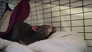 """Young Male Small & Furry - Rat: """"Frank"""""""