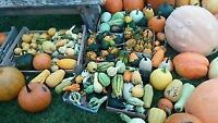 Pumpkins and gourds of all shapes and sizes