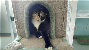 "Adult Female Cat - Domestic Short Hair: ""Hummer"""