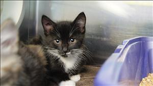 """Baby Female Cat - Domestic Short Hair: """"Patches"""""""