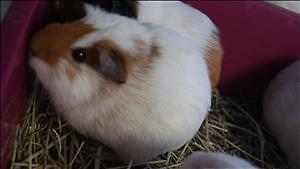 "Baby Female Small & Furry - Guinea Pig: ""Nora"""