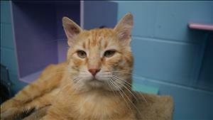 """Adult Male Cat - Domestic Short Hair: """"Marlow"""""""
