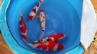 High Quality Imported Japanese Koi