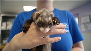 """Young Female Small & Furry - Ferret: """"Freddy"""""""