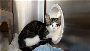 "Baby Female Cat - Domestic Short Hair: ""Fireball"""