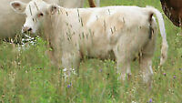 4 Cross Bred Beef Cows with Bull Calves !
