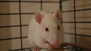 "Adult Male Small & Furry - Rat: ""Mowgli"""