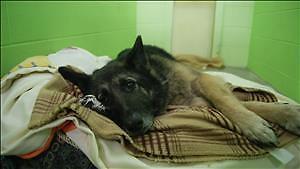 "Adult Female Dog - German Shepherd Dog: ""Juno"""