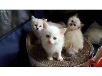 Pure Pedigree Neva Masquerade Kittens
