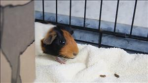"Baby Female Small & Furry - Guinea Pig: ""Finley"""