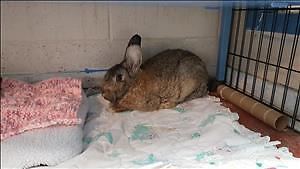 "Young Male Rabbit - Flemish Giant: ""Spruce"""