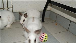 "Baby Female Rabbit - Lionhead: ""Lucy"""