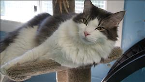 """Adult Male Cat - Maine Coon-Domestic Medium Hair: """"Ted"""""""