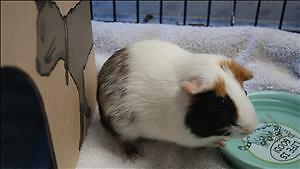 "Baby Male Small & Furry - Guinea Pig: ""Hadley"""