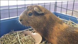 """Baby Male Small & Furry - Guinea Pig: """"Tucker"""""""