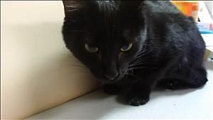 "Young Female Cat - Domestic Short Hair: ""Nyan"""