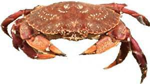Annapolis Basin Rock Crab License