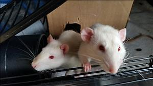 """Young Male Small & Furry - Rat: """"Dudley *bonded With Hamish"""""""