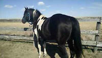 Black Tobiano Standing at Stud