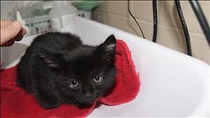 "Baby Female Cat - Domestic Short Hair: ""Gretle"""