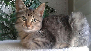 Spayed Tabby Still Missing at Bathurst and Finch