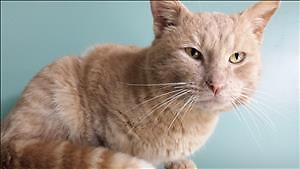 "Adult Male Cat - Domestic Short Hair: ""Moreley"""