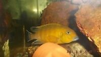 Cichlid for sale need it gone!!!