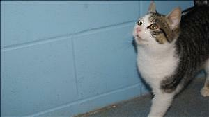 """Young Male Cat - Domestic Short Hair: """"Oliver"""""""