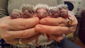 New litter of baby hedgehogs on the way!