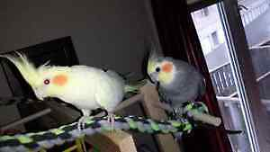 Very Large cage with 2 Cockatiels Cambridge Kitchener Area image 3