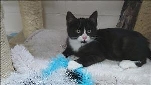 "Baby Male Cat - Domestic Short Hair: ""Spike"""