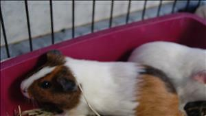 "Baby Female Small & Furry - Guinea Pig: ""Louise"""
