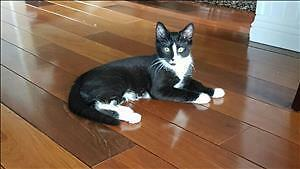 """Young Male Cat - Domestic Medium Hair: """"Frankie"""""""
