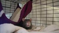 """Young Male Small & Furry - Rat: """"Sammy"""""""
