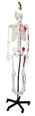 (Parco Scientific PB00009 FULL SIZE HUMAN SKELETON HANG. W/ PAINTED MUSCLES 66