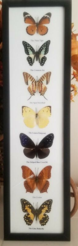 7 REAL  MOUNTED BUTTERFLIES  IN FRAME TAXIDERMY INSECTS