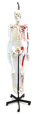 Muscular Painted Human Skeleton Model 62 Model Height