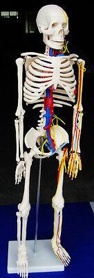 Model Anatomy Professional Medical Skeleton Nerves Blood Vessels 34 85cm It-004