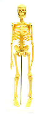 Micro Skeleton Small Scale Anatomical Model 16.5 Height