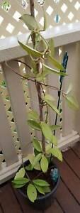 Hoya plant in 20cm pot