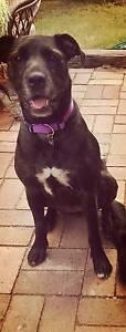 Irish Wolfhound x Labrador Armidale Armidale City Preview
