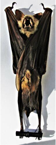 Real Diadem Roundleaf or Leaf-nosed Bat Hipposideros diadema Hanging FAST USA