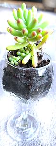 Succulent Sale - Heaps of Varieties $4 each Pacific Pines Gold Coast City Preview